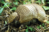 three_b_armadillo