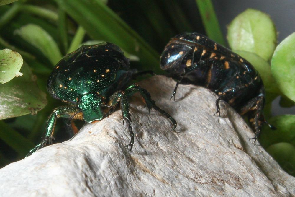 tin foil beetle web