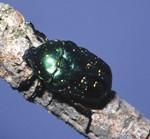 tinfoil beetle