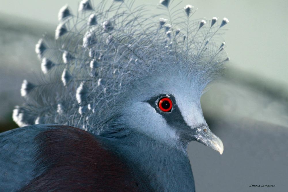 victoria crowned pigeon web