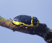 yellow bellied beetle