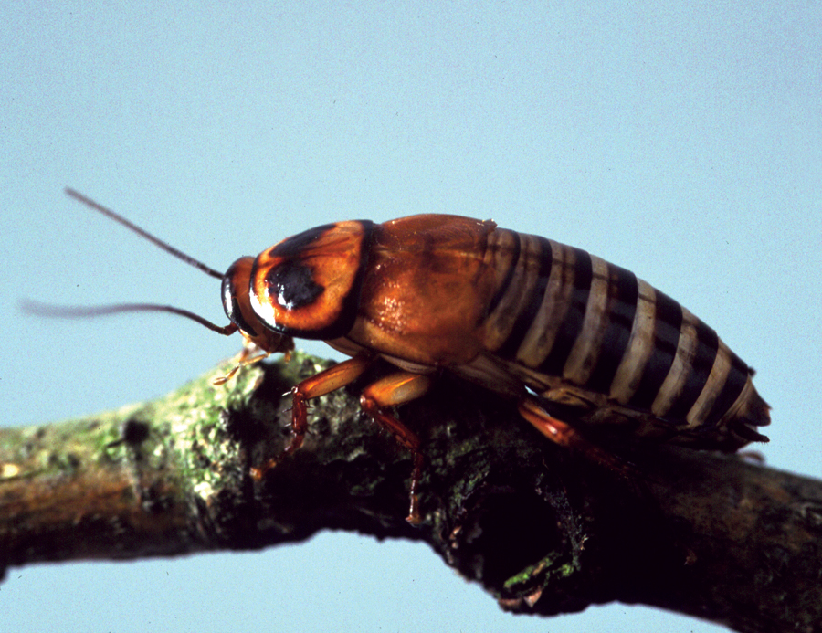 zebra-bug-milan-bushing