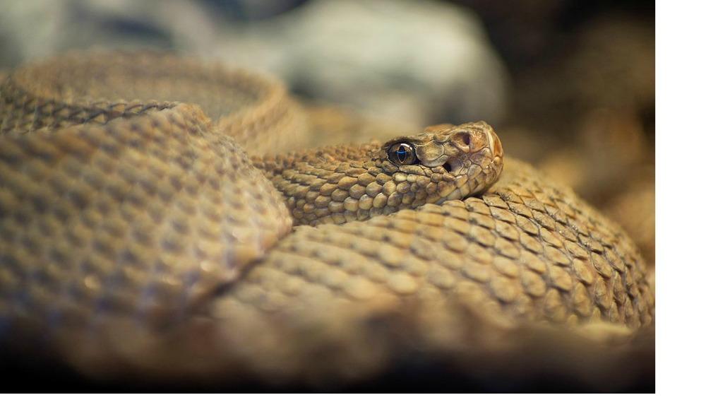 Aruba Island Rattlesnake web