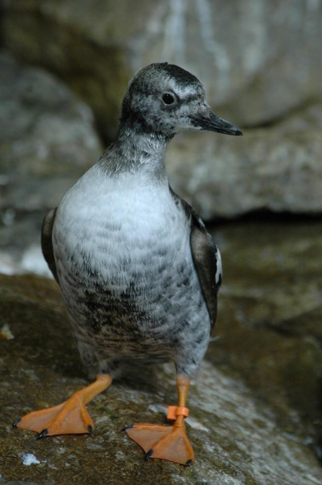 Pigeon Guillemot - 11 web