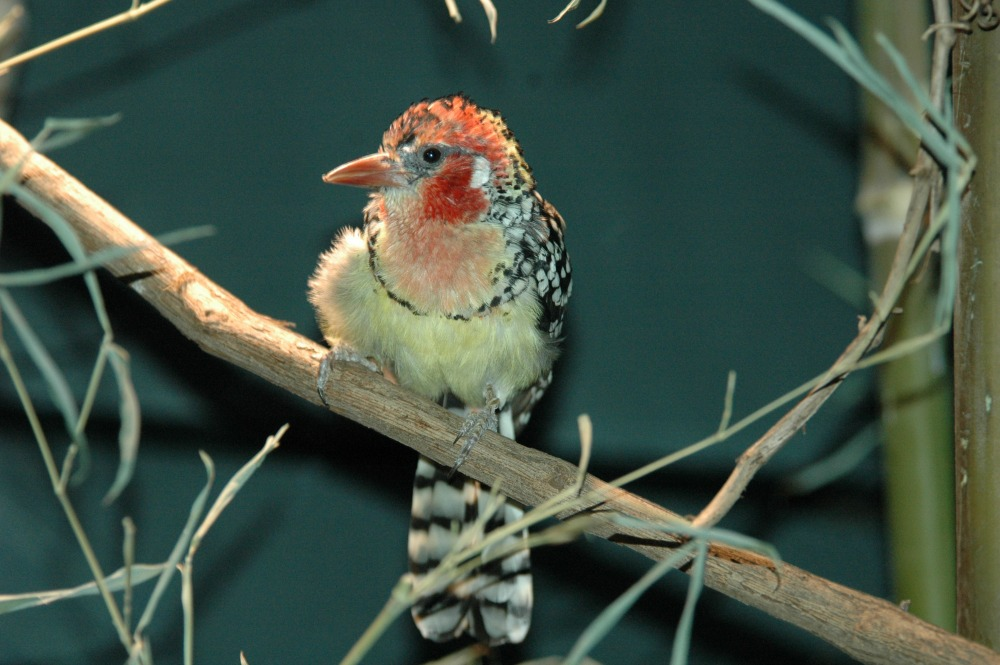 Red and Yellow Barbet - 03 web