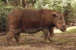 Sumatran Rhino I0028