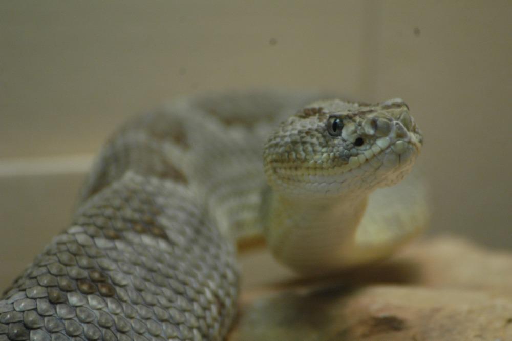 Yucatan Neotropical Rattlesnake - 04 web