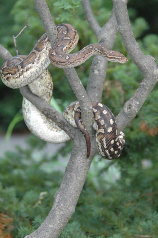 angolan python web