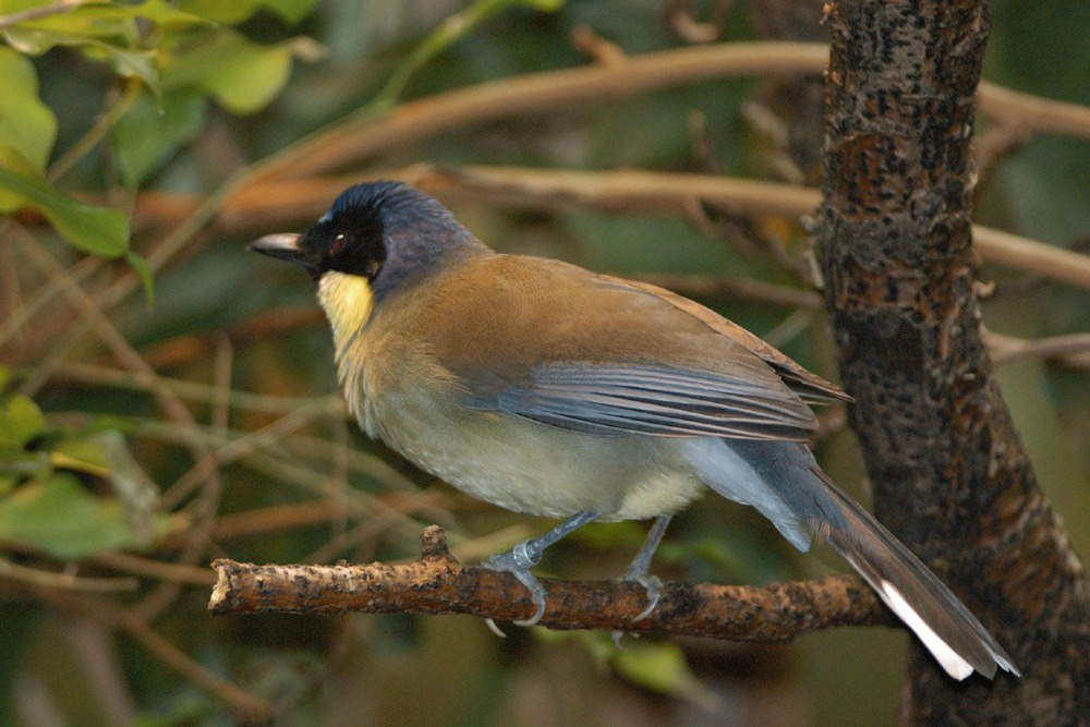 blue crowned laughing thrush web