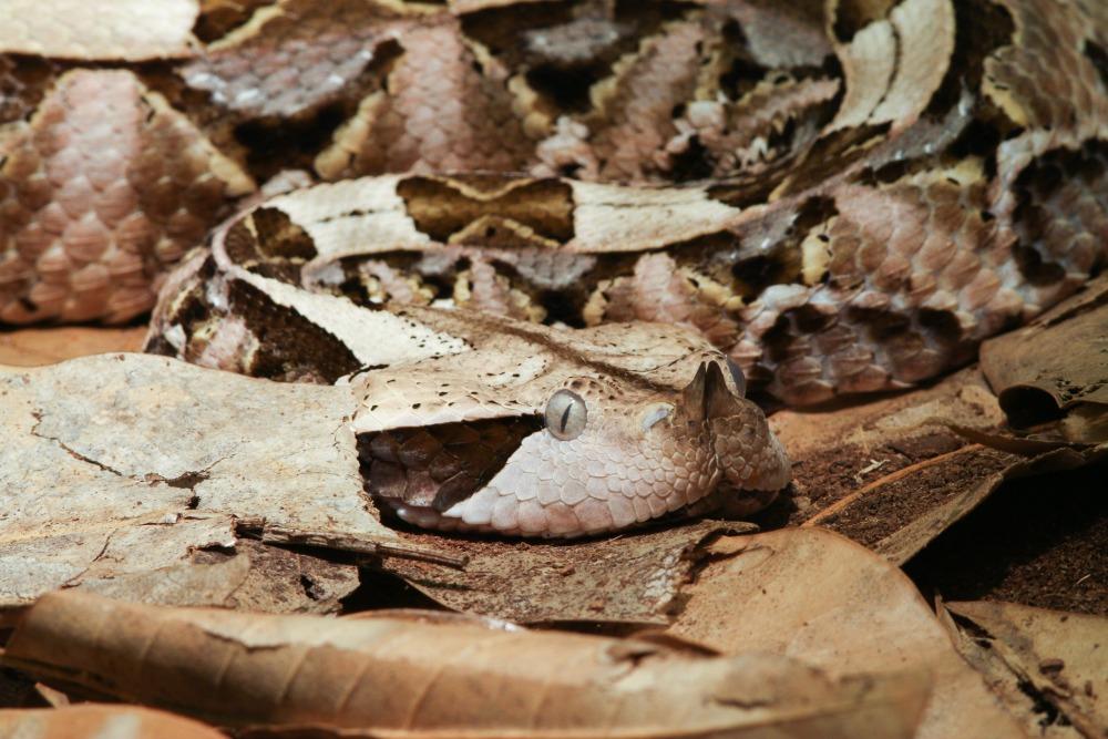 gaboon viper web