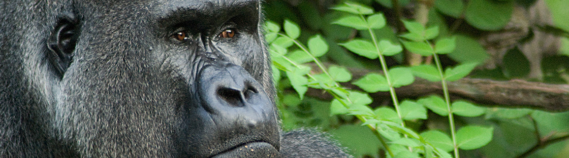 header2_0011_kathy newton gorilla