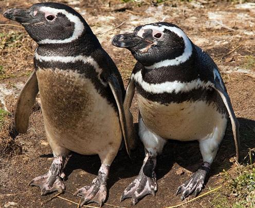 penguins_argentina