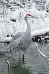 sandhill crane web
