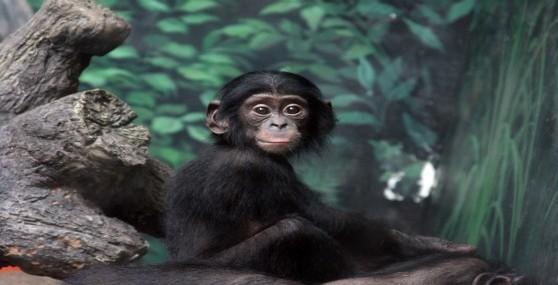 Zoo Babies - Bonobo