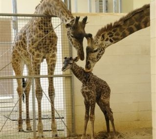 Baby Giraffe Born At The Cincinnati Zoo The Cincinnati