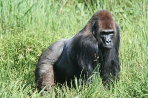 mbelibai-gorilla