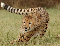 cheetah_encounter
