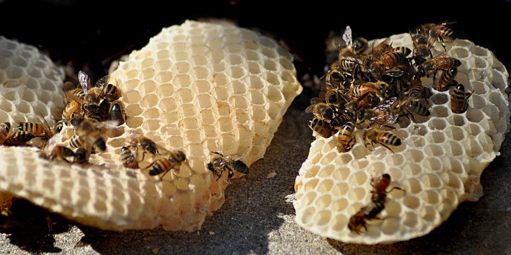 honeybee web