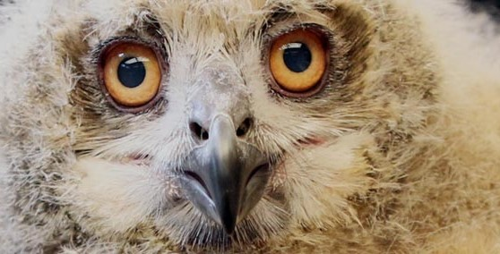 Caspian - The Eurasian Eagle Owl