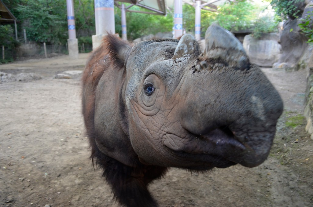 "Sumatran Rhino ""Harapan"""