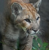 cougar