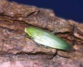 green-leaf-cockroachsmall