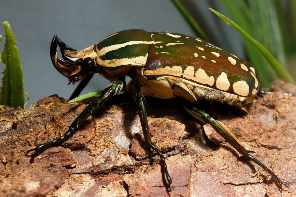 magnificant flower beetle