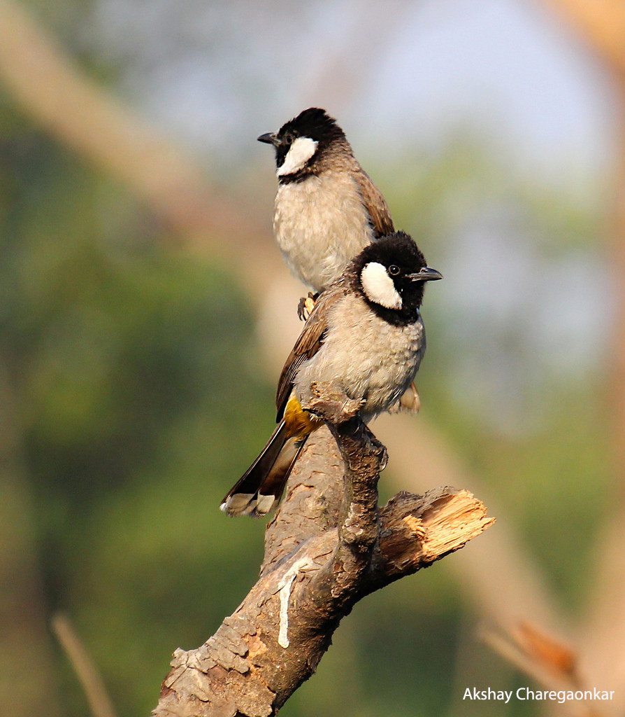 white cheeked bulbul - akshay charegaonkar with name