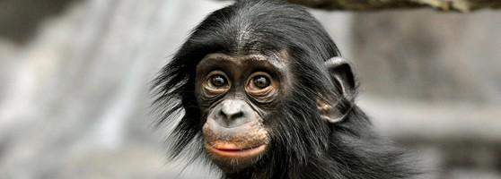 bonobo_face