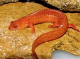 Spring Salamander