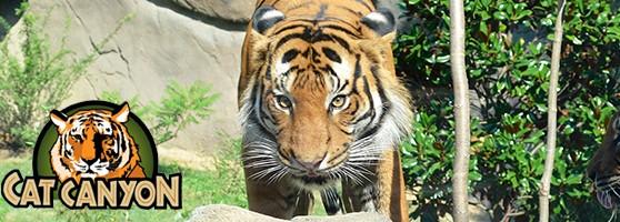 tiger_header