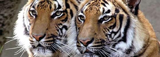 tigers_pressroom