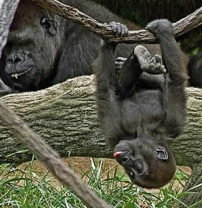 gorilla_troop