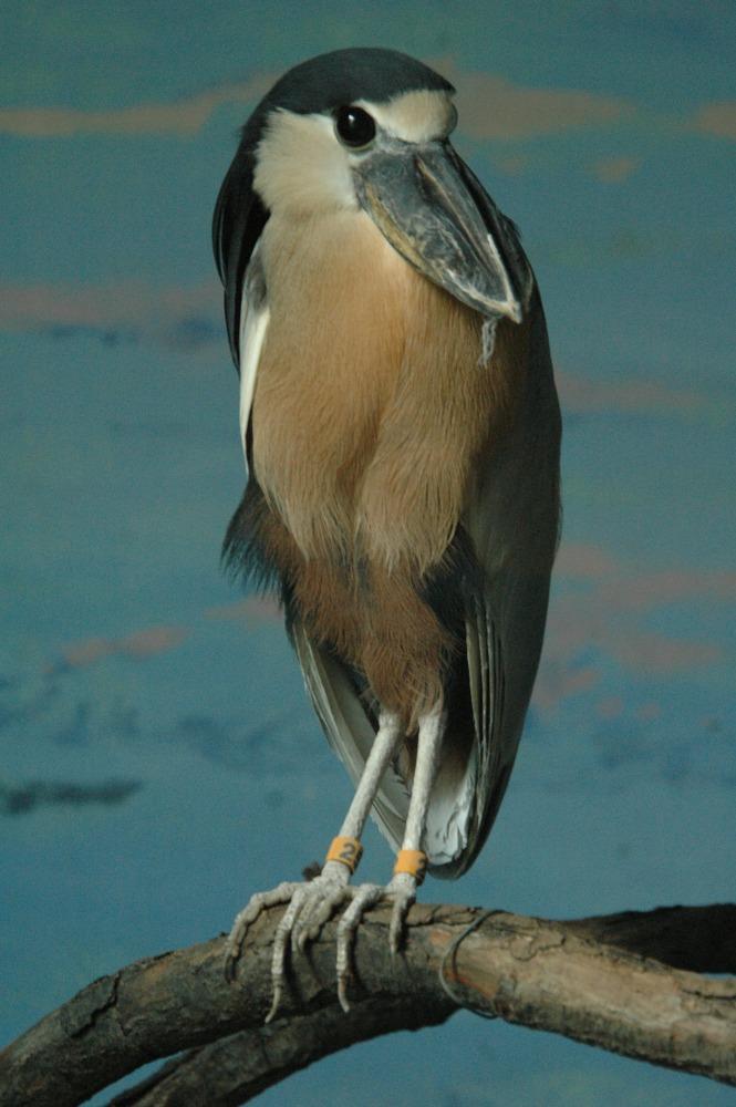 Boat-billed Heron (17) web