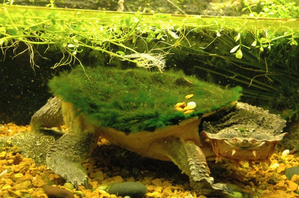 Mata Mata Turtle (31) web