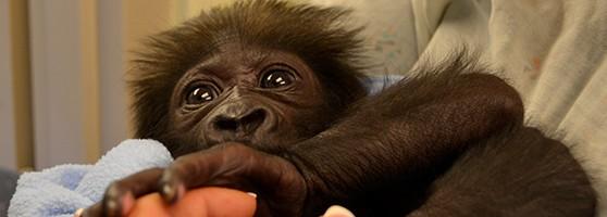 baby_gorilla_header