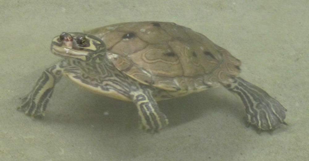 barbours map turtle web