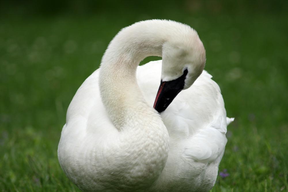 swan web