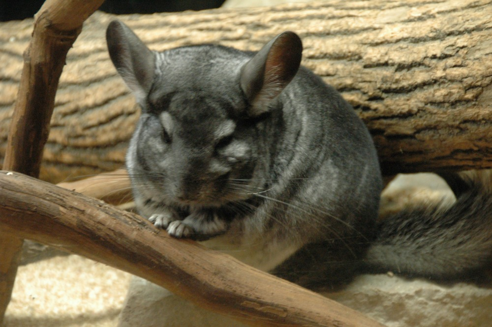 Chinchilla - 01 web
