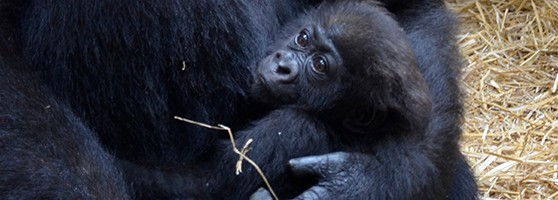 gorilla_header