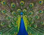 Peacock by Bud Hensley