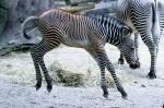 Zebra - Mark Dumont
