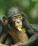 Bonobo - David Jenike
