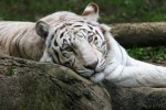 White Tiger - Connie Lemperle
