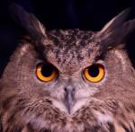 Owl - Mark Dumont