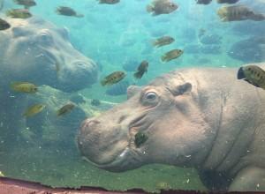 small_hippo