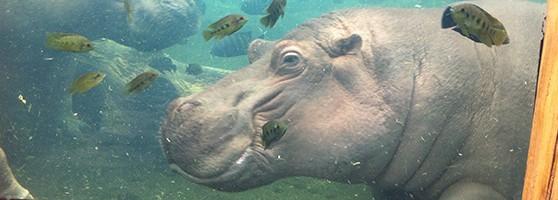 header_hippo