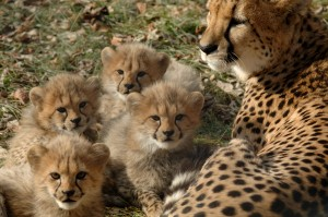 Cheetah and cubs (Photo: Dave Jenike)