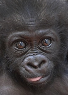 Recycling Cell Phones Saves Gorillas!