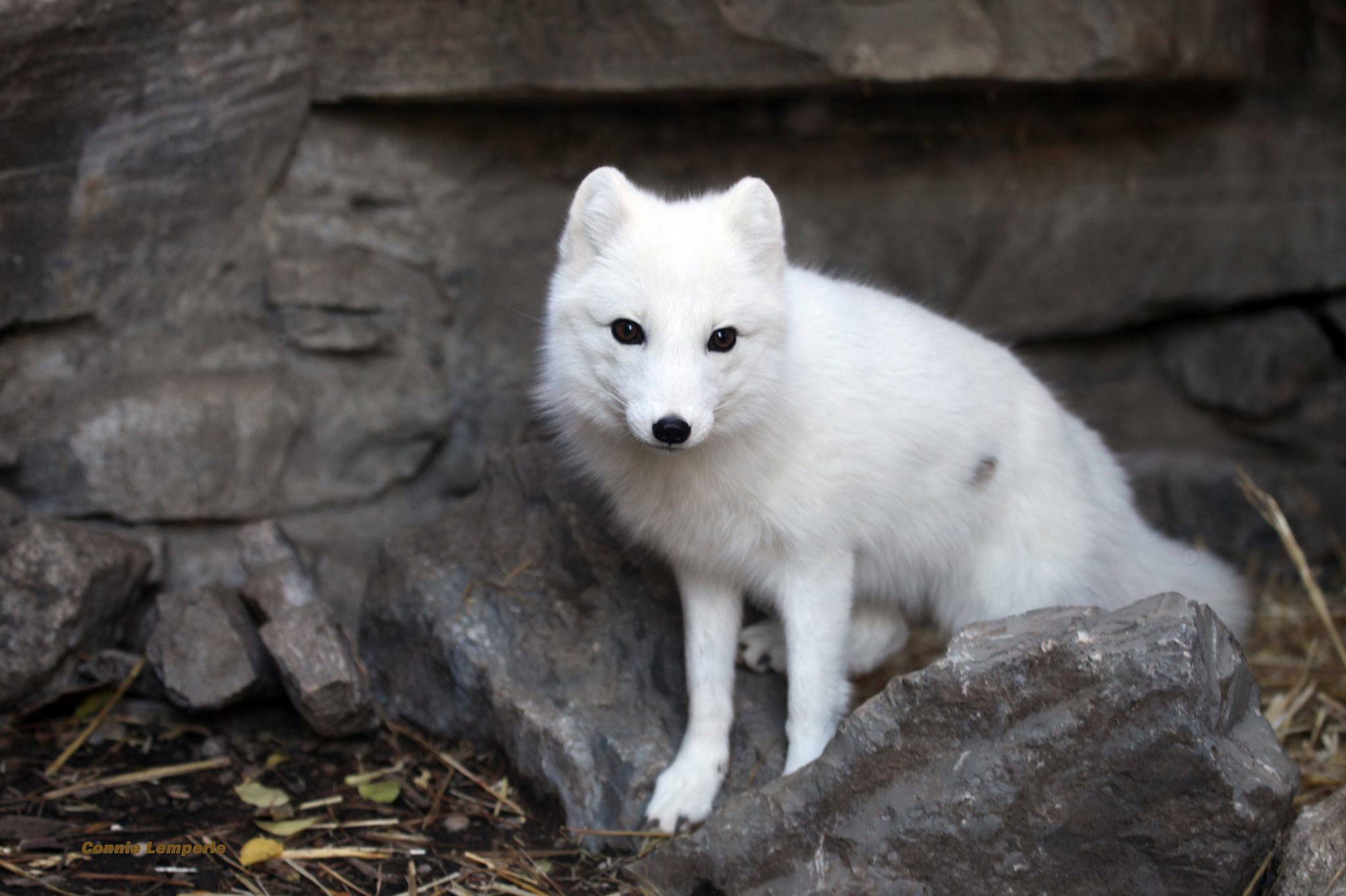 arctic fox Arctic fox: arctic fox, (vulpes lagopus), northern fox of the family canidae, found throughout the arctic region, usually on tundra or mountains near the sea fully grown adults reach about 50–60 cm (20–24 inches) in length, exclusive of the 30-cm (12-inch) tail, and a weight of about 3–8 kg (66–17 pounds.